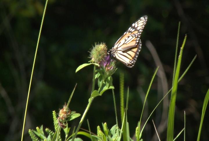 Experts say the monarch butterfly's population is declining