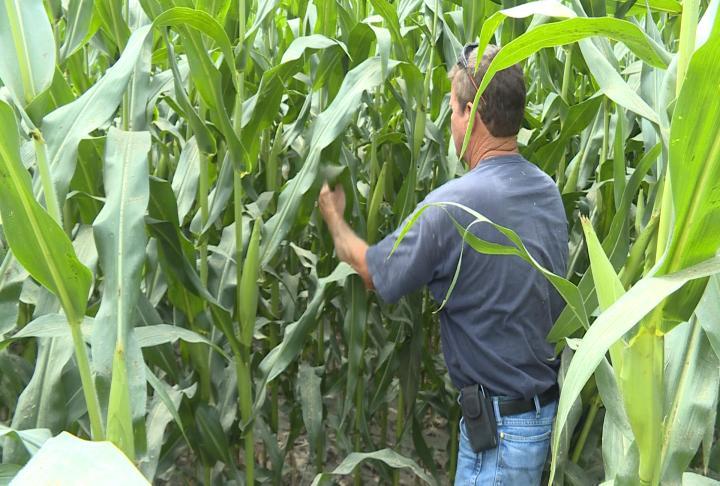 Koeller going into his crop.