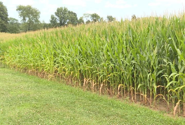 Corn at Mill Creek Farm.
