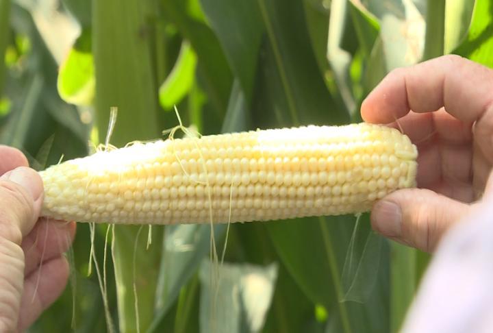 Corn in Koeller's Field.