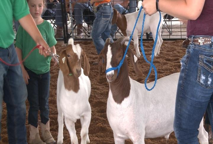 Goats during the show