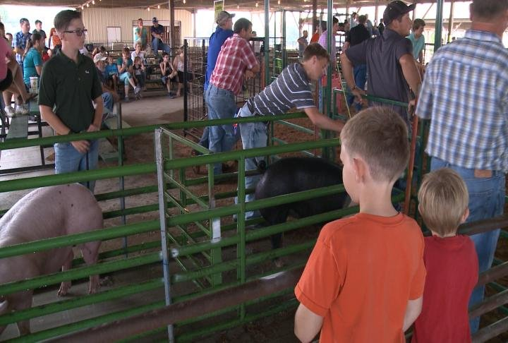 Kids watch as the swine show is underway