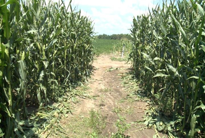 Damage from driving through the cornfield. (File photo)