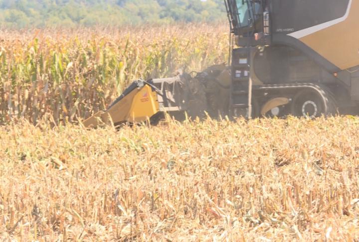 Combine harvesting corn
