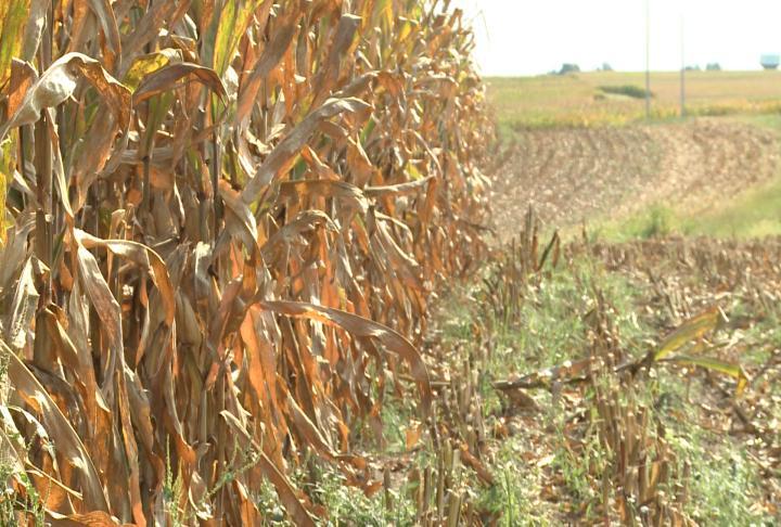 Half harvested field