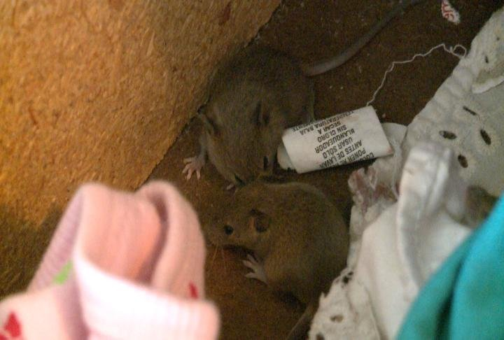 Mice in the dresser in Kramer's apartment.