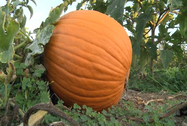 A large pumpkin rests on the ground.