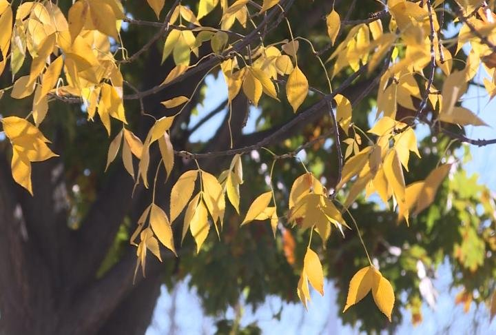 Leaves turn to yellow in a tree.