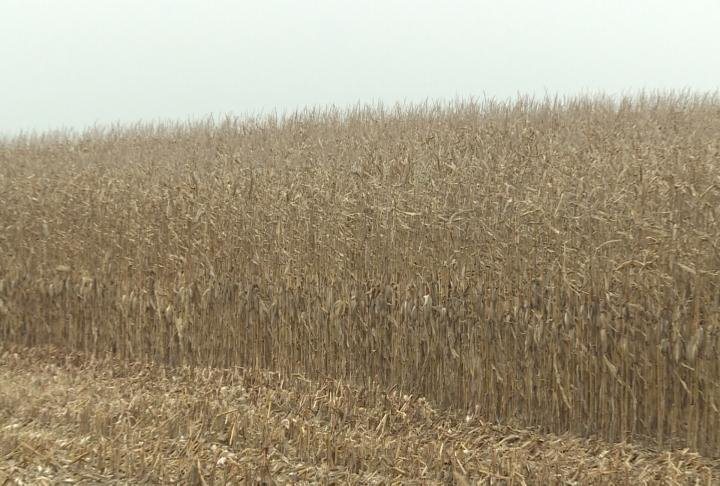 Farmers said they plan to be done harvest by the end of he week.