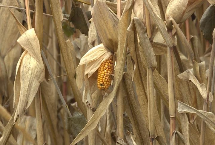 Farmers said crop yields were good, despite the weather.