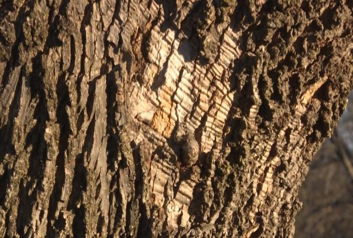 Bark missing from an ash tree.