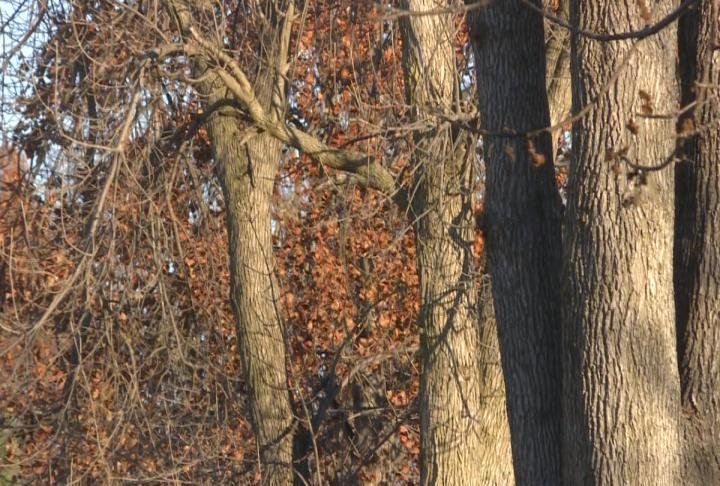 Shot of ash trees in Quincy.