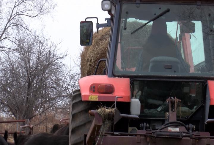 Gottman feeding hay to the cattle.