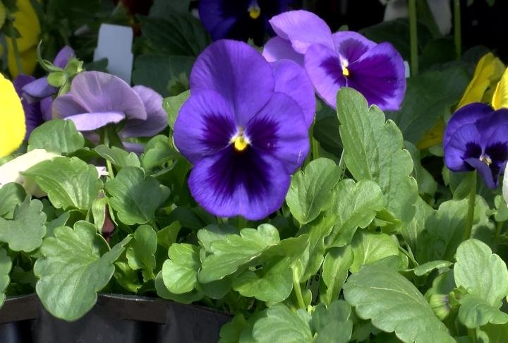 Annual flowers can be damage from cold temperatures if not protected.