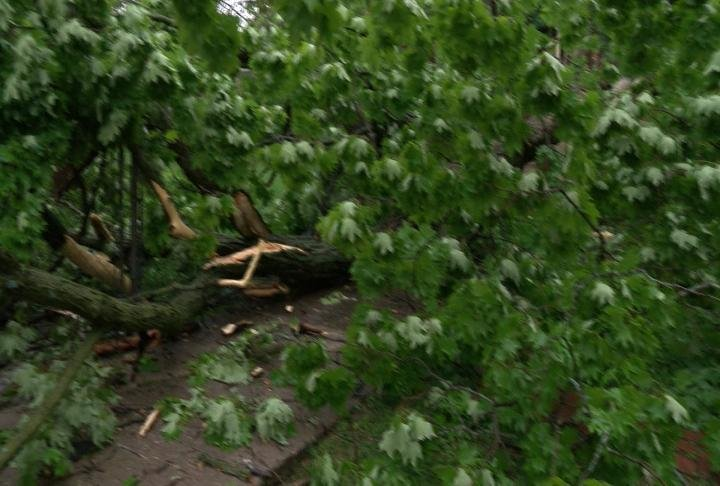 The tree fell over Monday evening.